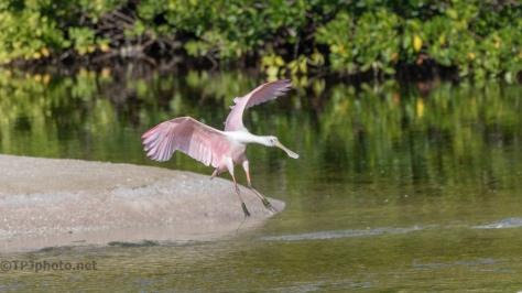 A Pink Flight, Spoonbill