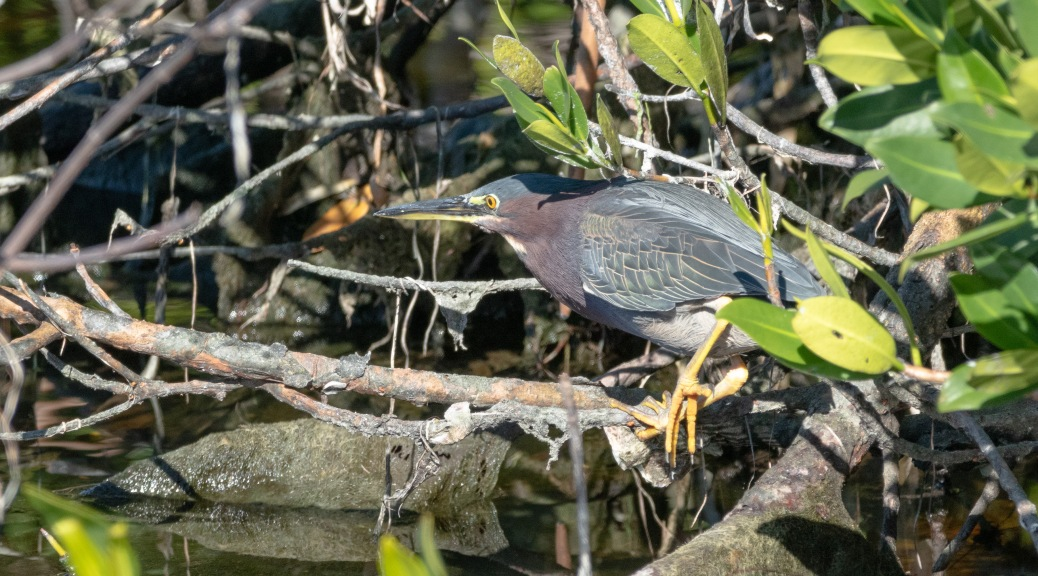 Discovered A Green Heron