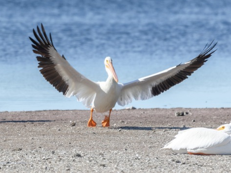 Arrive With Flair, Pelican