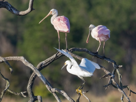 Mixing Colors, Snowy And Spoonbill