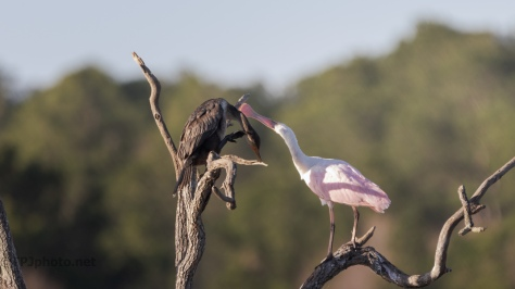Spoonbill Making Trouble