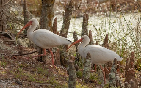 Ibis In A Swamp
