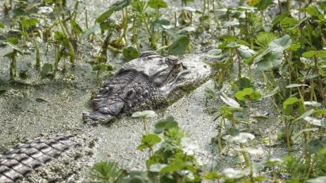 Chunky Gator