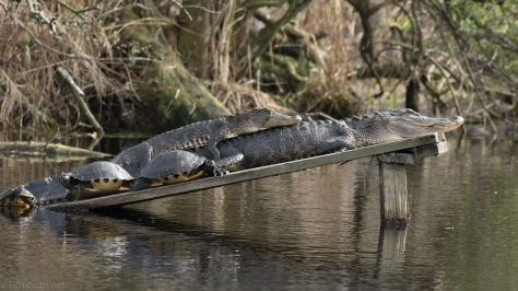 Cuddling Alligators Seems To Be A Trend