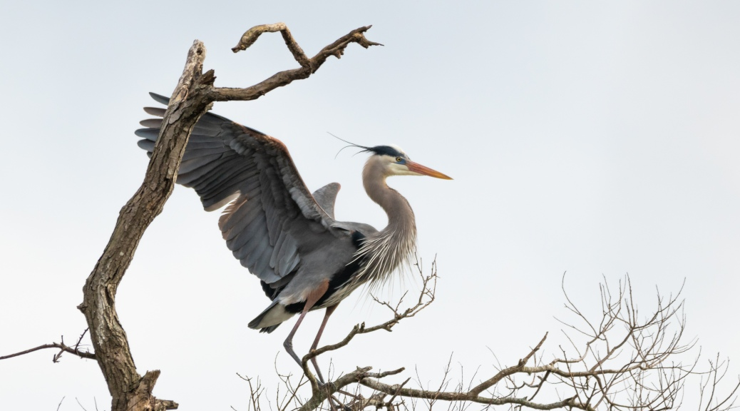 Great Blue Heron, Landing Above A Swamp