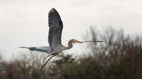 Great Blue Returning To Nest