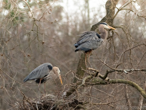 A Slow Go At A Rookery, Heron