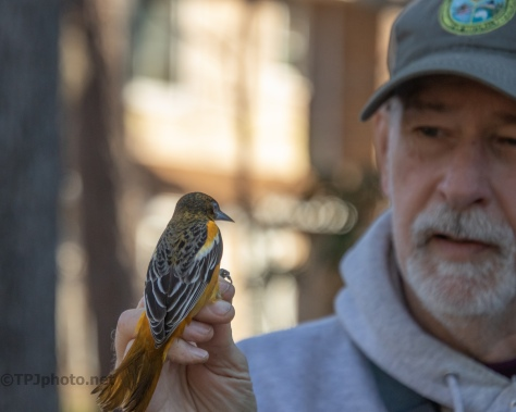 Banding Birds, Baltimore Oriole (2)