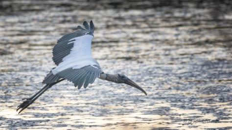 Morning Wood Stork
