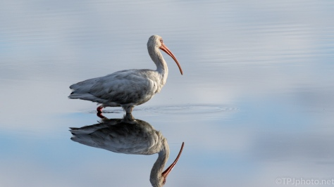 Filthy Ibis, But Great Reflection