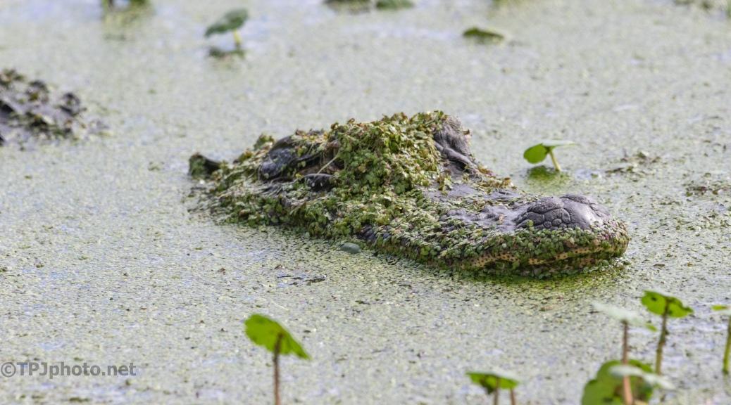 Good Hiding, Alligator