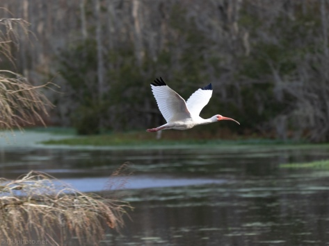 White Ibis Joins The Fray