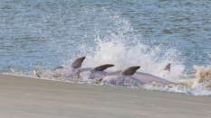 Dolphin Strand Feeding Project - 2