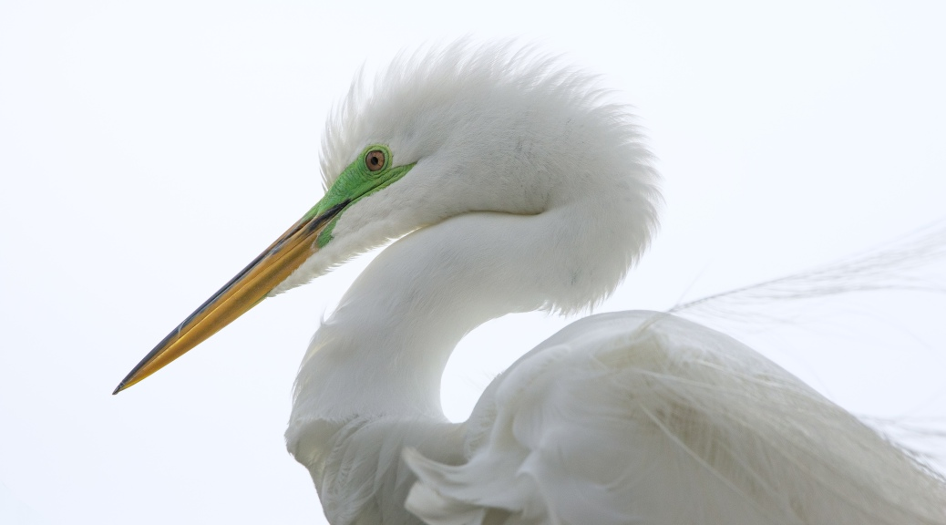 Portrait Head Shot, Great Egret