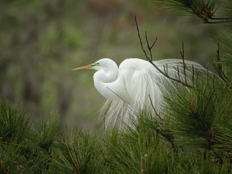 The Dance, Great Egret