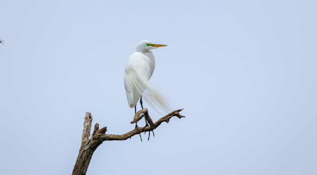 Great Egret Up High