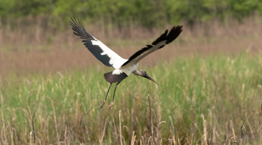 Sound Of Flight, Wood Storks