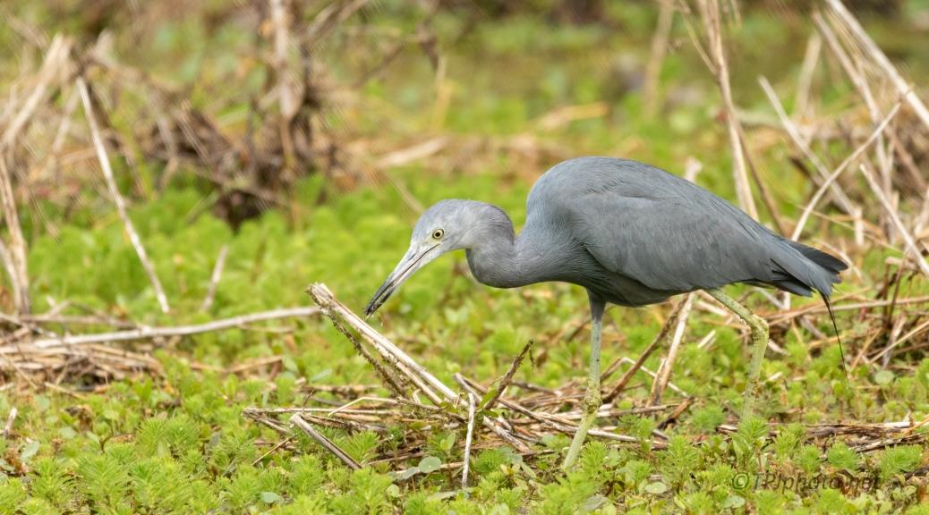 Caught Something, Little Blue Heron