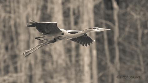 Heron In Monochrome