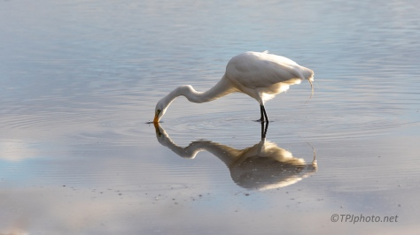 Fishing Reflections, Great Egret