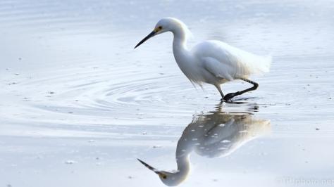 Early Snowy Egret