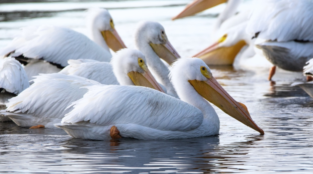 I See Nose Bumps, White Pelican