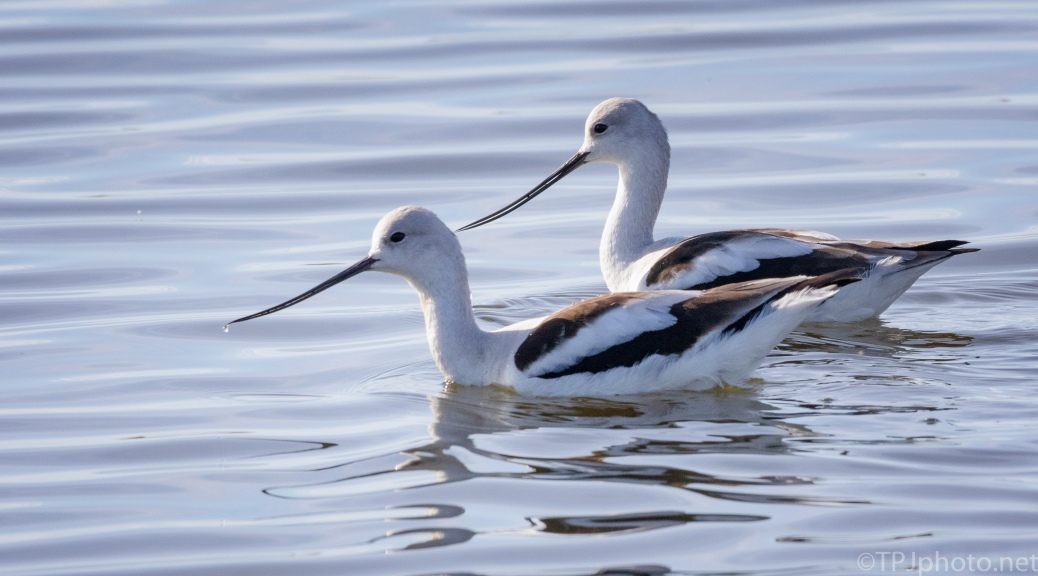 American Avocet, A Bunch