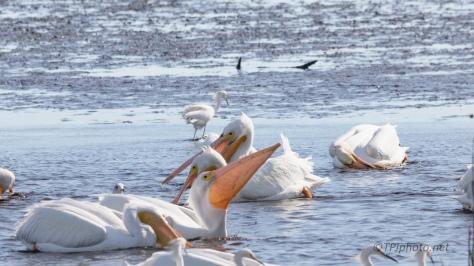 Like Big White Vacuum Cleaners, Pelican