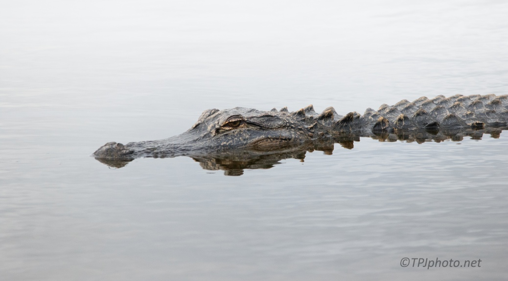 Gator Reflections