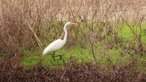 Wandering The Wetlands, Egret