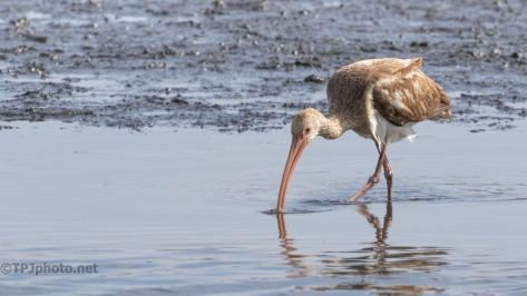In The Mud, Ibis