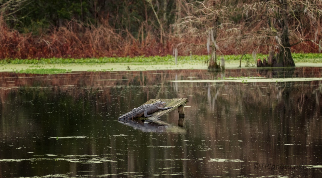 Still Raining Out There, Alligator
