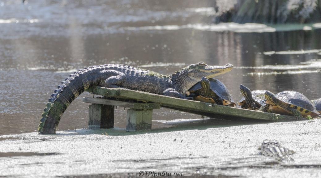 Alligator Antics (large number of images)