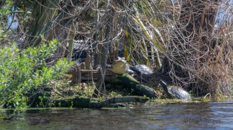 A Hiding Place, Alligator