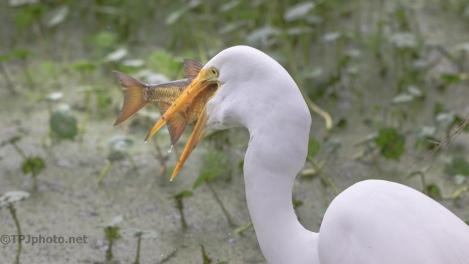 Having A Good Day, Egret