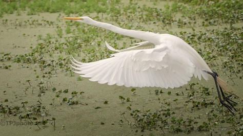 Hunting In The Duck Weed, Egret