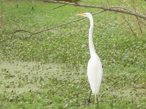 A Solitary Spot, Egret