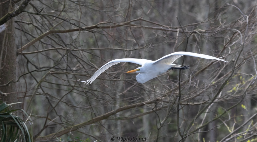 Great Egret Passing Through A Rookery