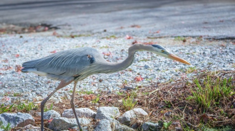 Fish Are Right Here, Heron