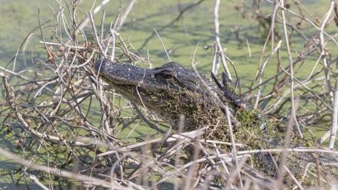 Tangled Up In Brush, Alligator