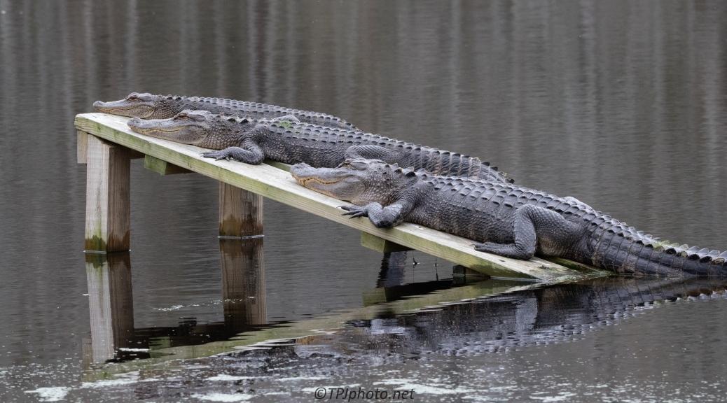 Always A New Position, Alligator