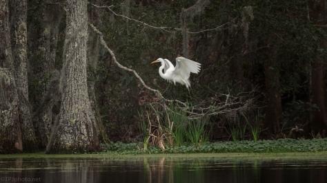 Great Egret, Dark Swamp