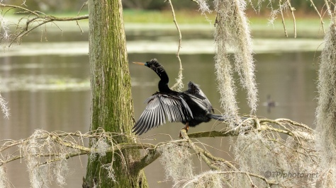 Anhinga In A Swamp