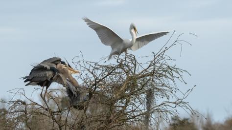 Herons Guarding A Nesting Spot