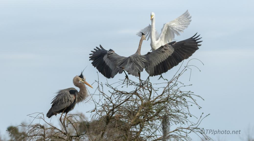 Territory Dispute, Heron / Egret