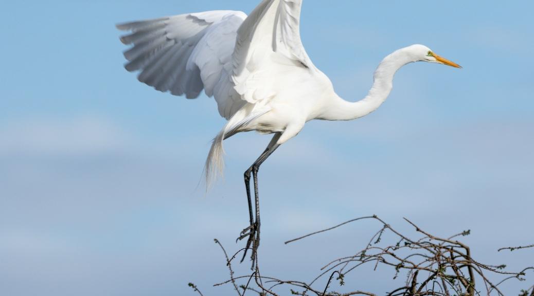 A Graceful Landing, Egret
