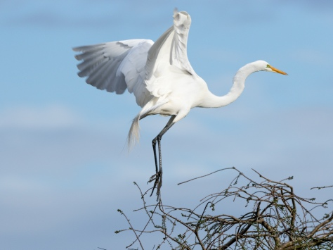 A Graceful Landing, Egret