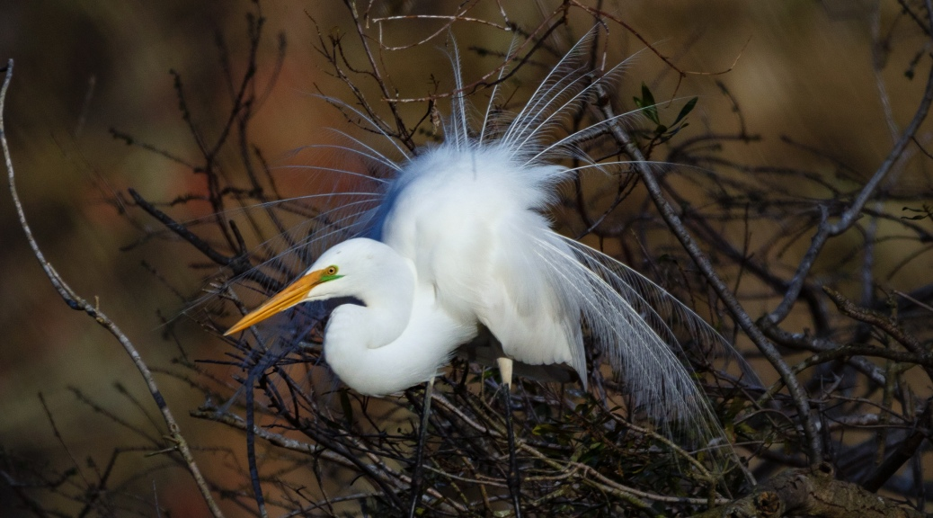 Dancing For A Mate, Great Egret
