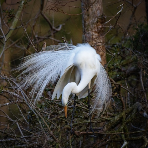 Dazzling Display, Egret