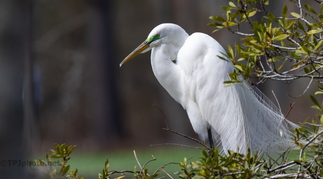 All Dressed Up, Great Egret